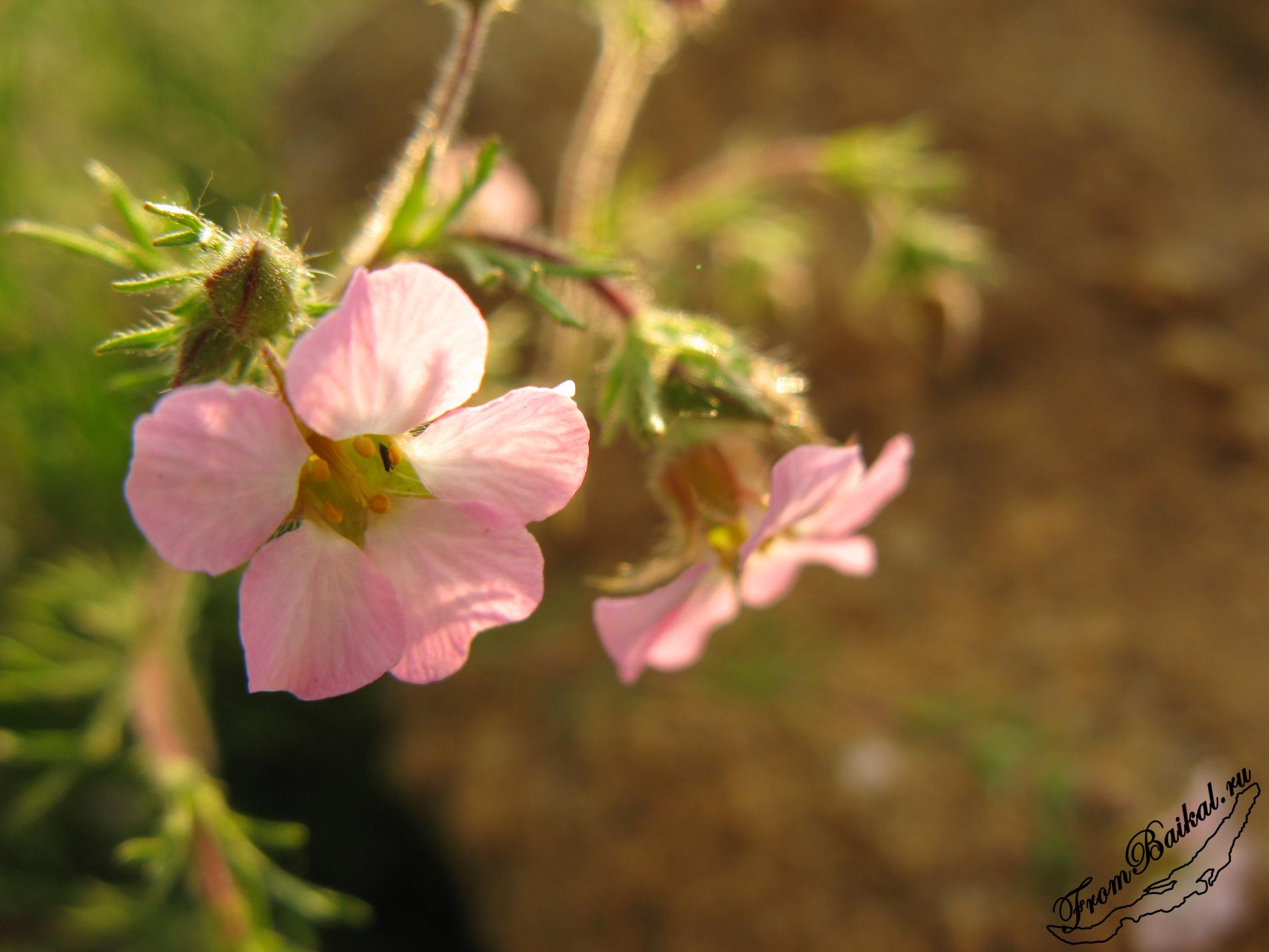 Цветы Байкала. Хамеродос крупноцветковый - Chamaerhodos grandiflora. Малое море.