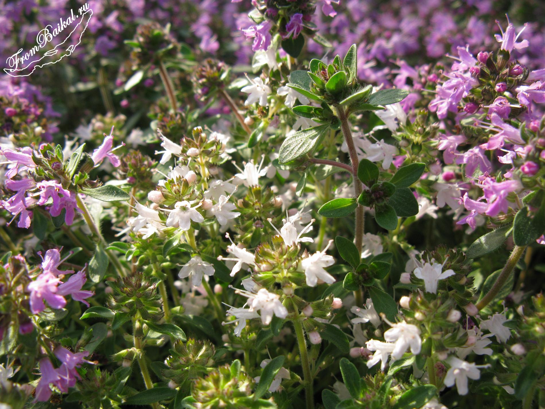 Чабрец (тимьян, богородская трава) - Thymus (сем. Яснотковые)