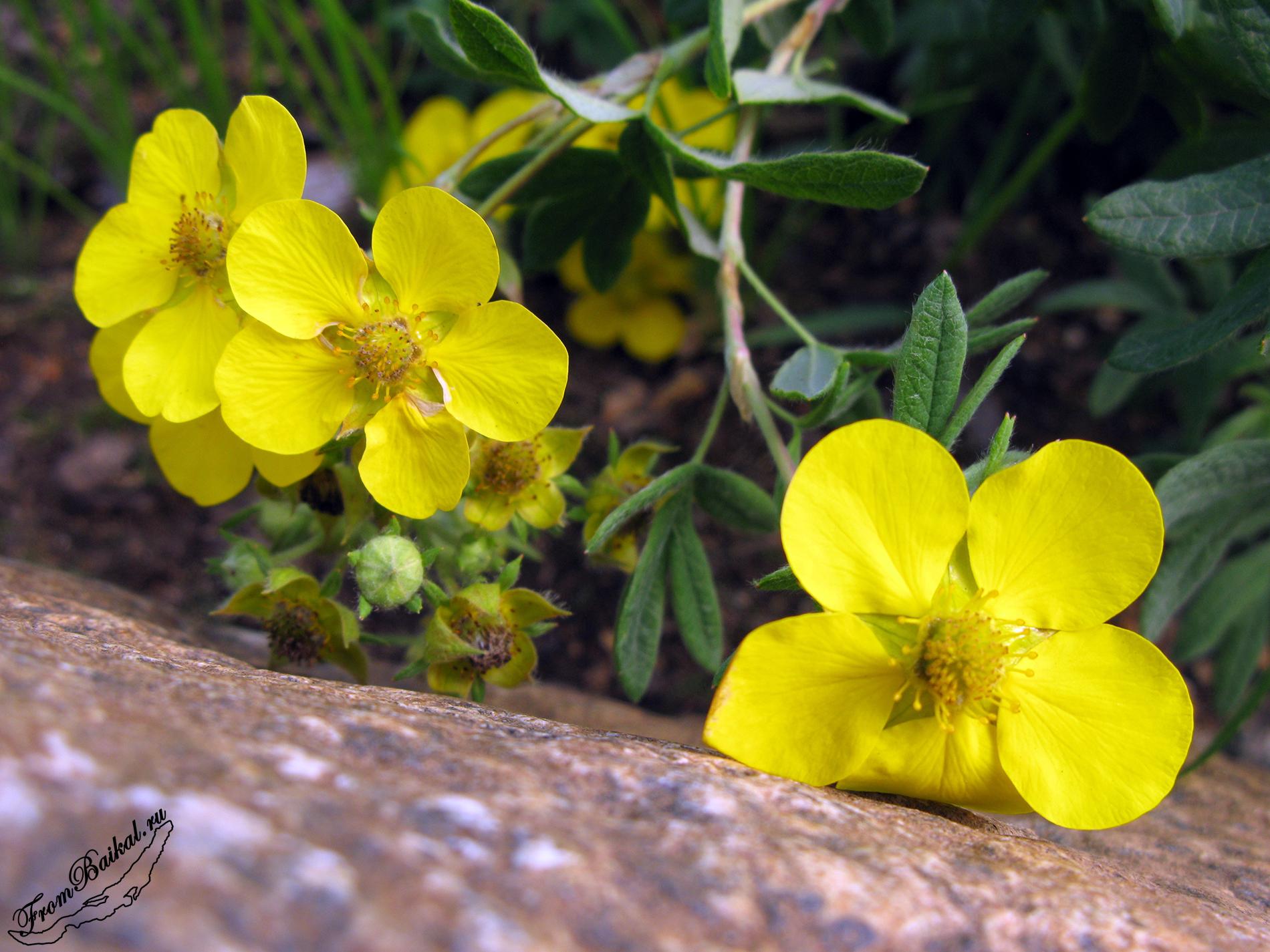 Курильский чай (Dasiphora fruticosa)
