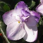 Гребешковый цветок сенполии