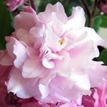 Густомахровый цветок сенполии