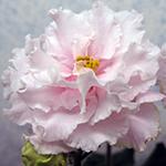 Махровый цветок сенполии
