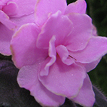 Полумахровый цветок сенполии