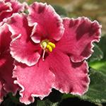 Простой цветок сенполии