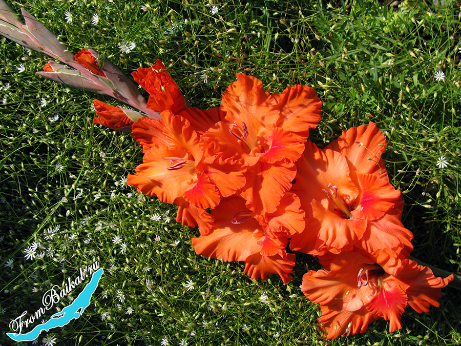 Гладиолус лососевый 2