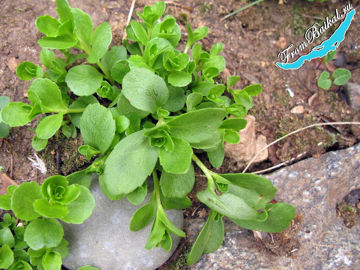 Седум камчатский (Sedum kamtschaticum)