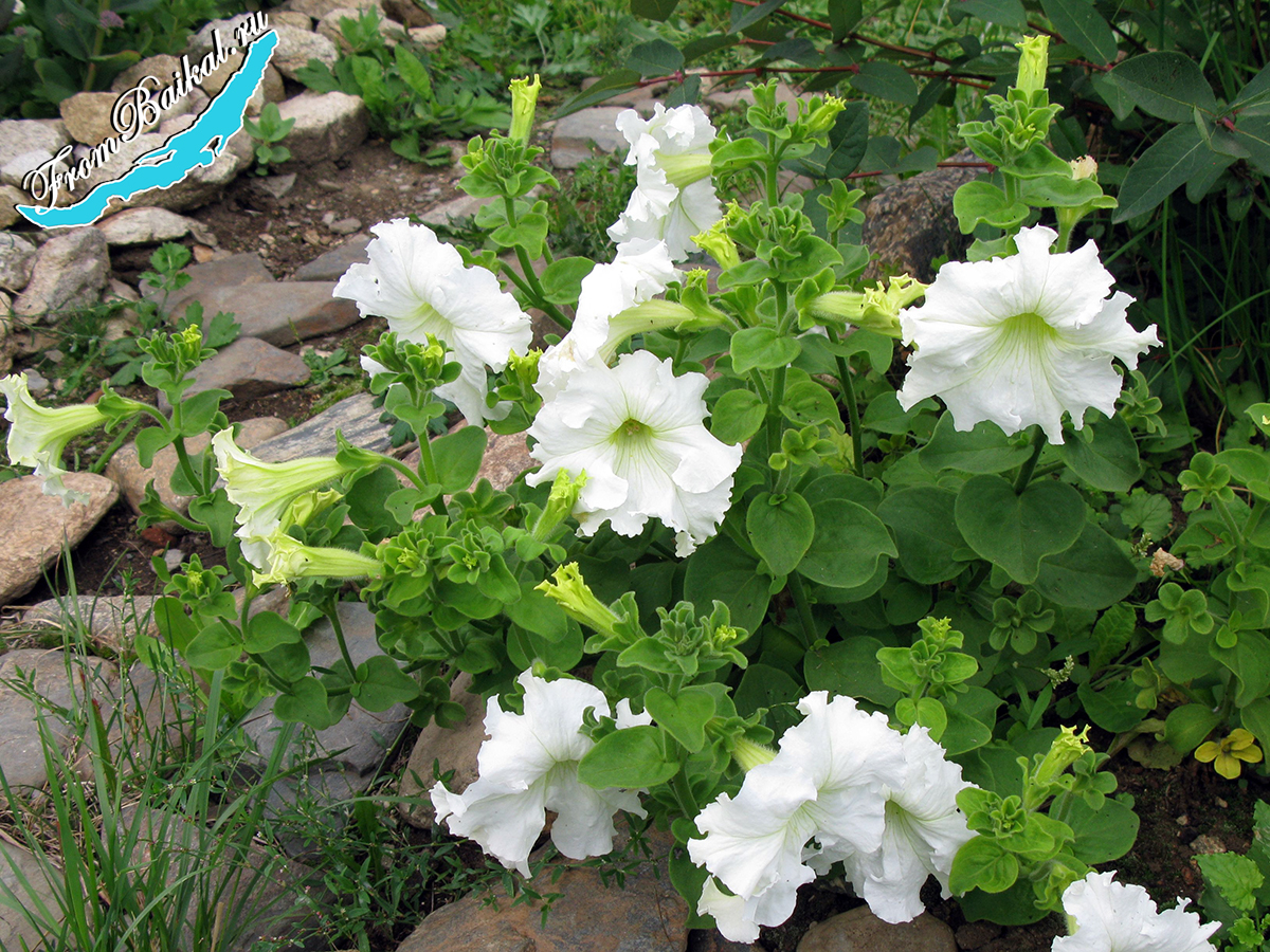 Петуния фриллитуния (Petunia frillytunia)_F1 Белая