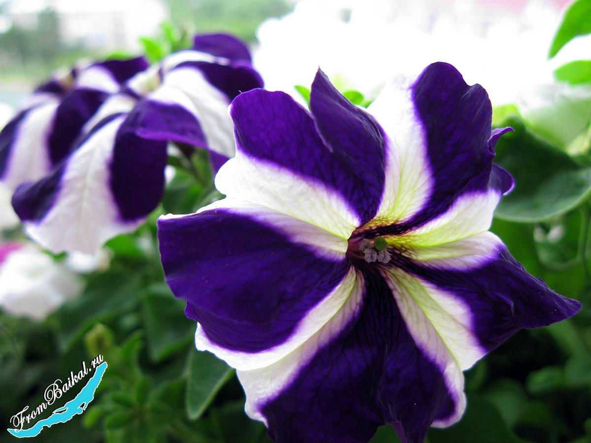 Петуния крупноцветковая_Petunia grandiflora_Ultra F1_001