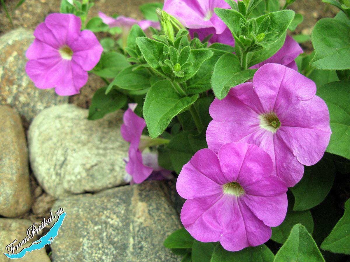 Петуния компактная (Petunia hybrida nana)_Тет-А-Тет F1