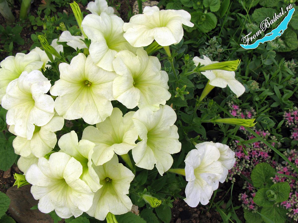 Петуния гибридная (Petunia hybrida)_Экзотик F1 Лимончелло