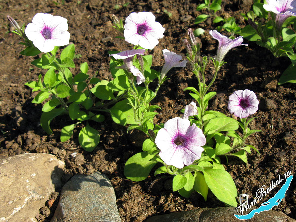 Минитуния (Petunia milliflora)_Роуз Вейн F1