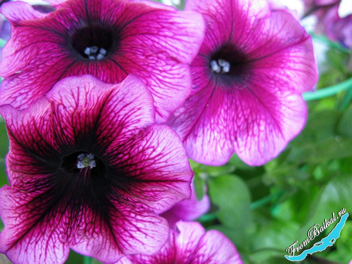 Петуния многоцветковая_Petunia multiflora_Мерлин F1 Плам Вейн_005