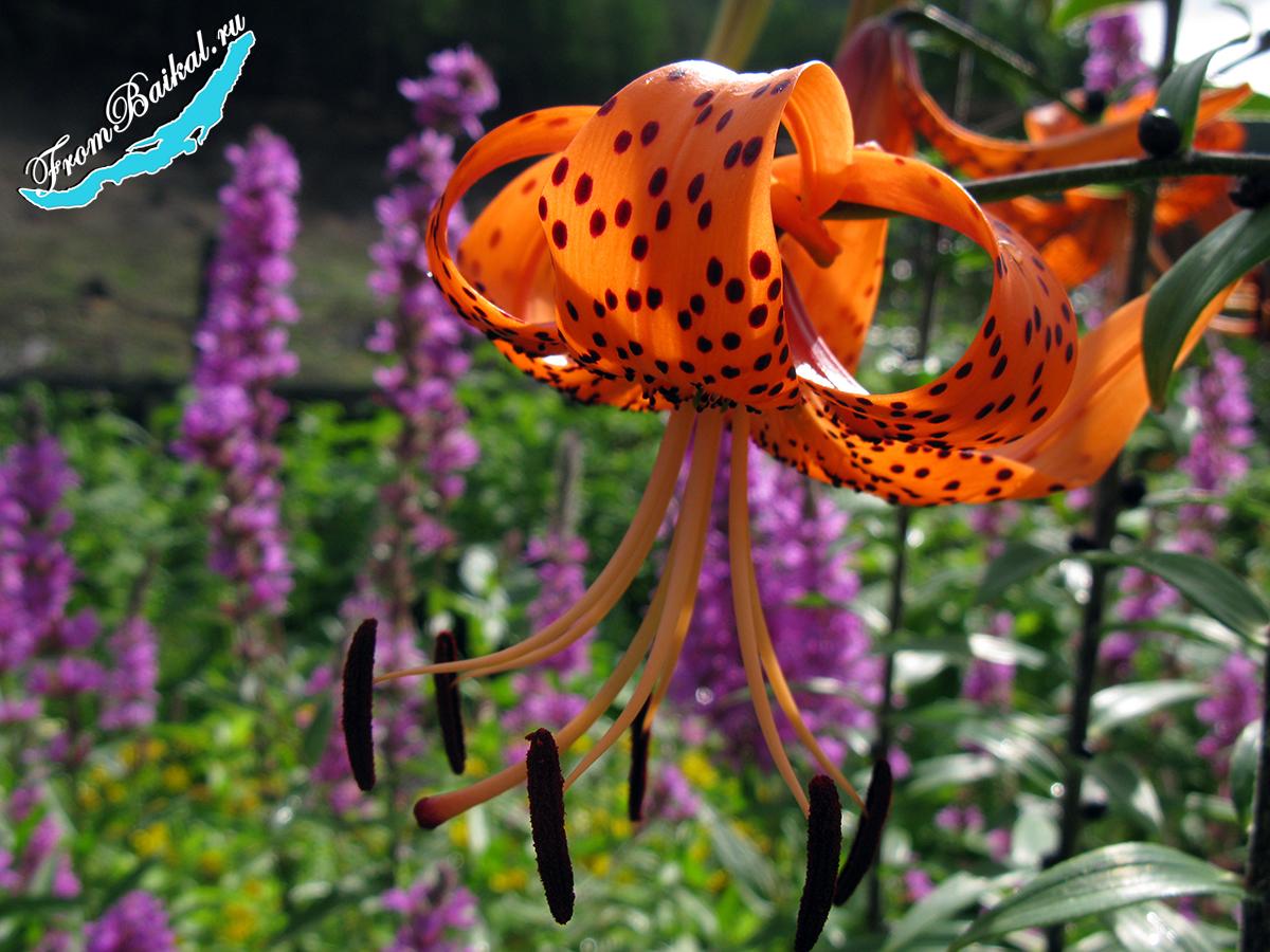 Лилия тигровая оранжевая