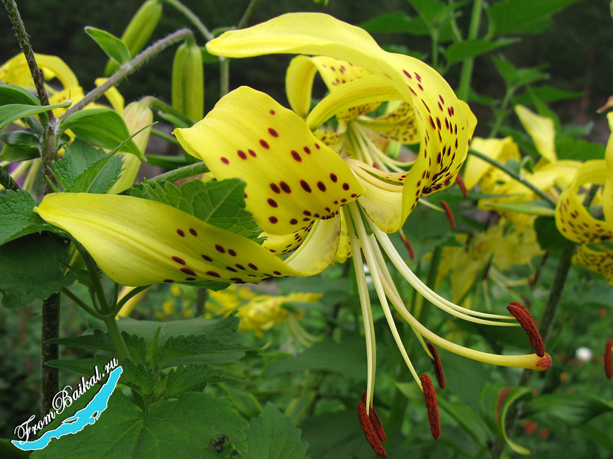 Лилии тигровые жёлтые