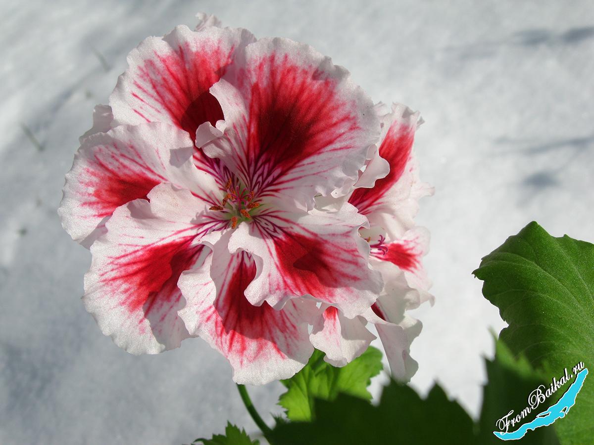 Пеларгония королевская Aztec - Pelargonium regale Aztec