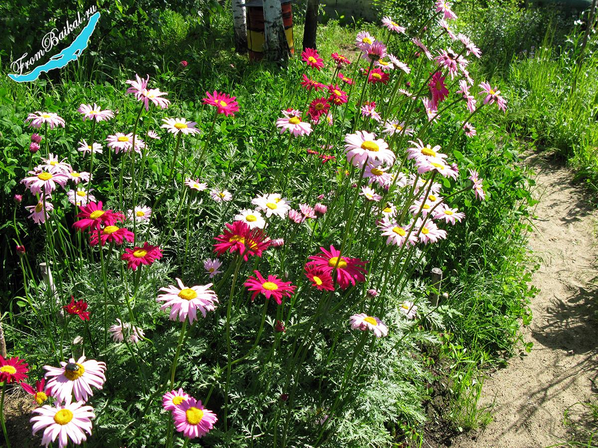 "Пиретрум ""Гиганты Робинсона"" - Chrysanthemum coccineum"