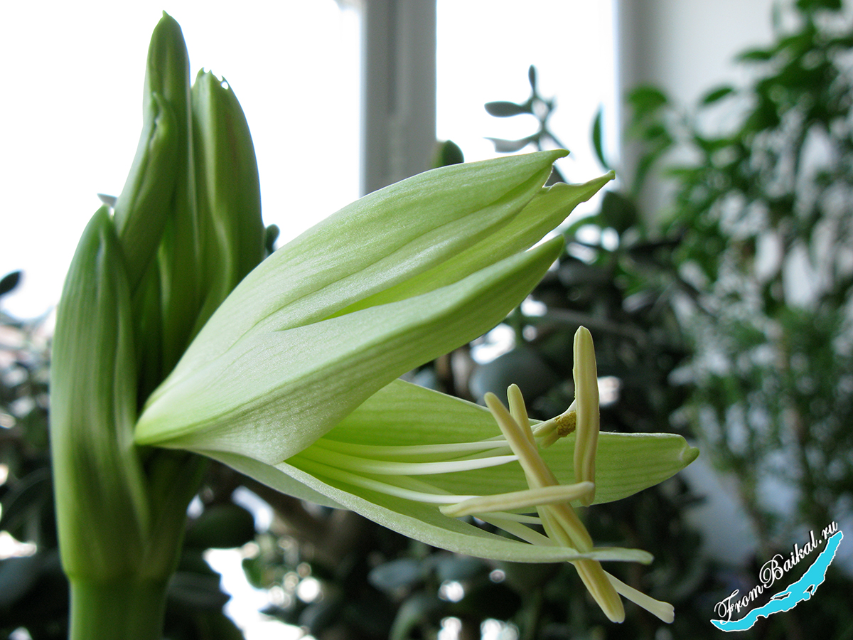 Гиппеаструм Эвергрин — Hippeastrum Evergreen