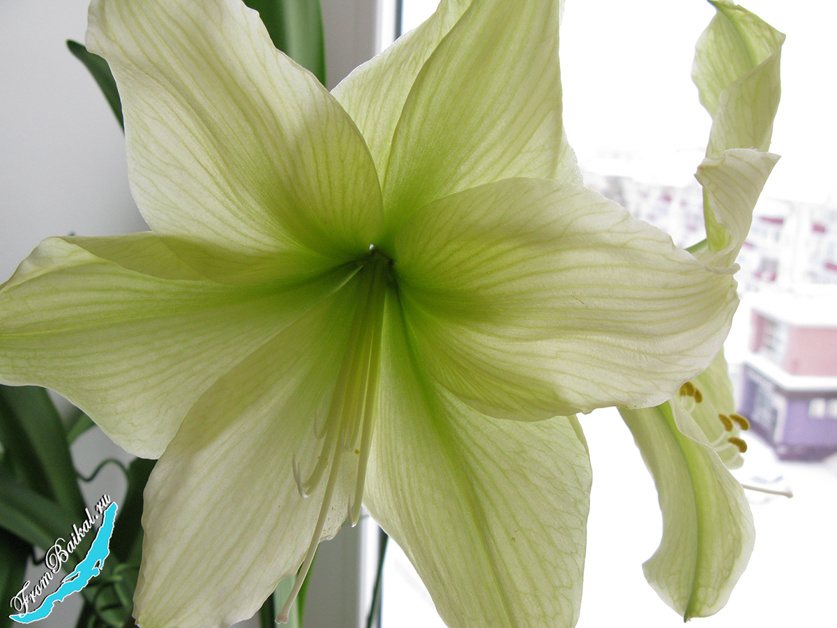 Гиппеаструм Лемон Лайм — Hippeastrum Lemon Lime