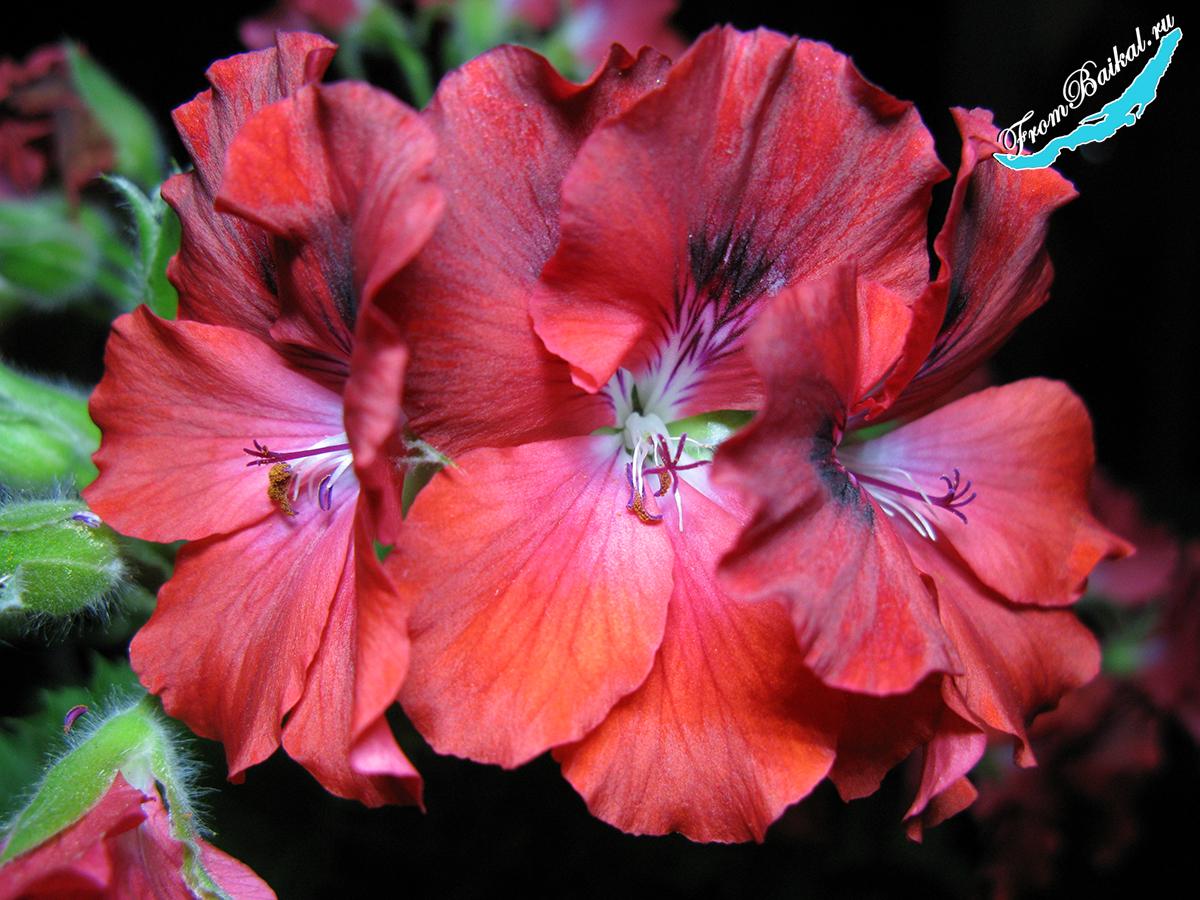 Пеларгония королевская красная